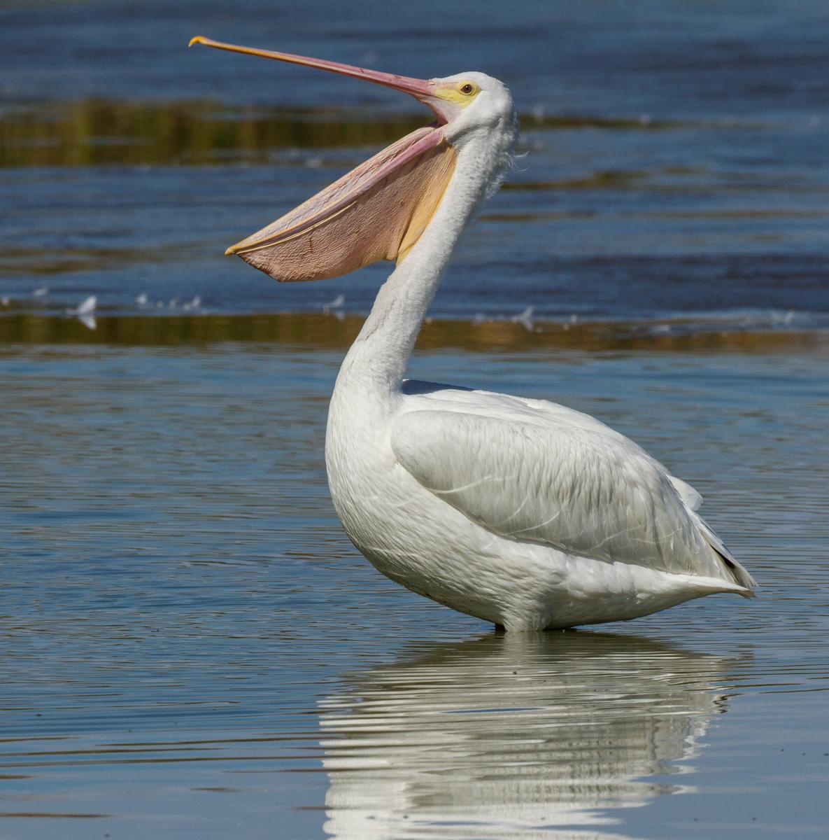 pelicans - HD1185×1200