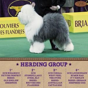 2-16-15 Sheepdog